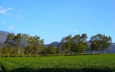 Di Linh abrite ainsi d'énormes collines de théier vertes