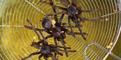 araignées frites - Spécialité connue aux touristes au Cambodge